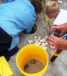 Amelia Island Florida Sea Turtle Nest Excavation