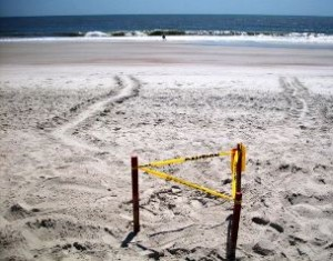 Amelia Island Sea Turtle Nest Tracks North Beach