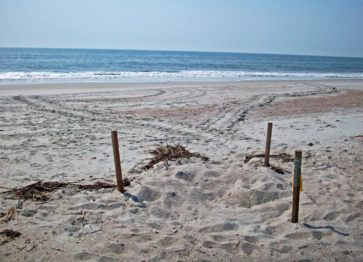 Fort Clinch State Park Sea Turtle Nest & Tracks