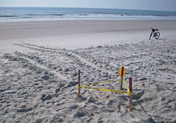 Amelia Island Sea Turtle Nest and Turtle Tracks May 23, 2011