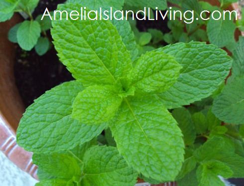 Its Easy To Grow Mint in Florida Feeding Hummingbirds Amelia