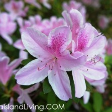 Spring Azaleas Blooming on Amelia Island in Nassau County, Florida