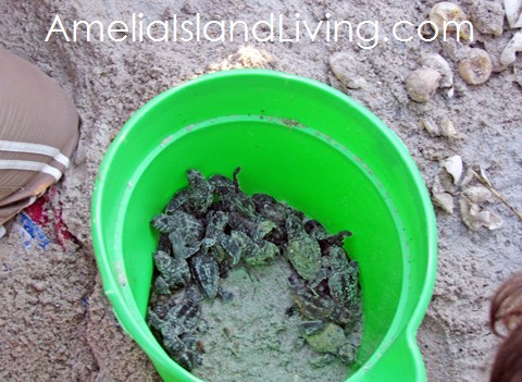 Photo: Sea Turtle Hatchlings Rescued During Nest Excavation, Amelia Island, Florida