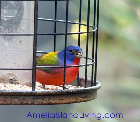 Photo, Male Painted Bunting, Amelia Island, Florida