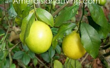 Growing Backyard Citrus: Photo, Lemon Tree, Amelia Island, Florida