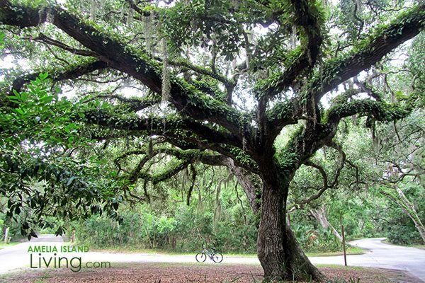 One of Amelia Island's Beautiful Oak Trees