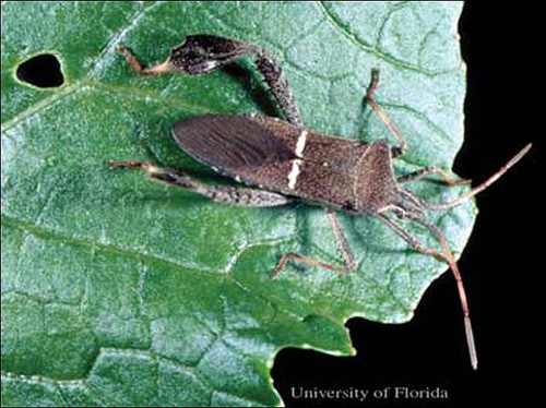 Leaffooted Bug (photo University of Florida)