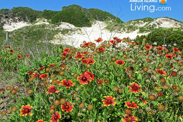 "Wild Blanket Flower Near Florida's Tallest Sand Dune, ""Nana"" on Amelia Island photo"