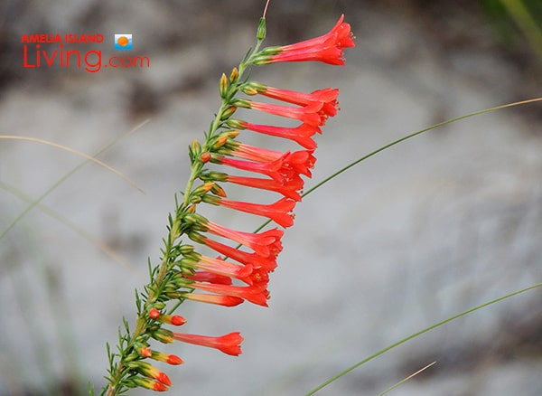 Standing Cypress, Tall Spikes of Red Tubular Flowers In The Dunes, Amelia Island photo