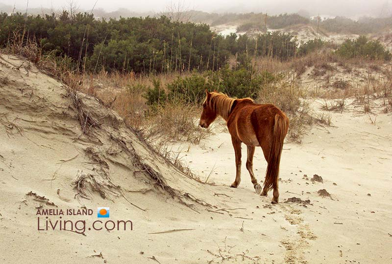 Wild Horse Roams Sand Dunes, Foggy Day on Cumberland Island National Seashore