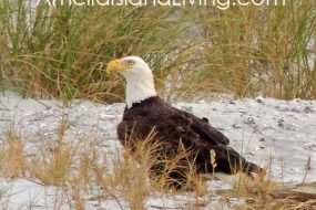 Eagle At The Beach, Amelia Island State Park photo