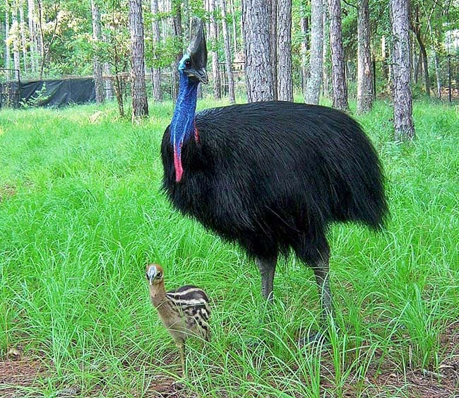Cassowary and chick photo White Oak Conservation
