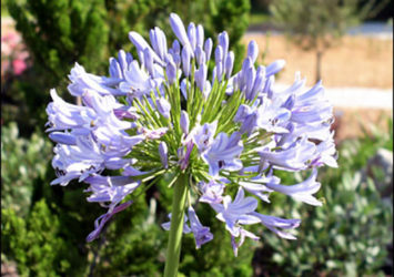Agapanthus, A.K.A. Lily of the Nile (Photo UFIFAS)