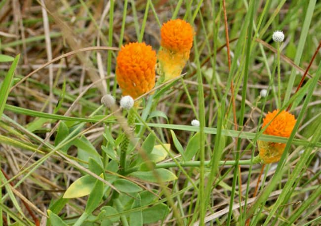 Orange Milkwort Growing In Florida