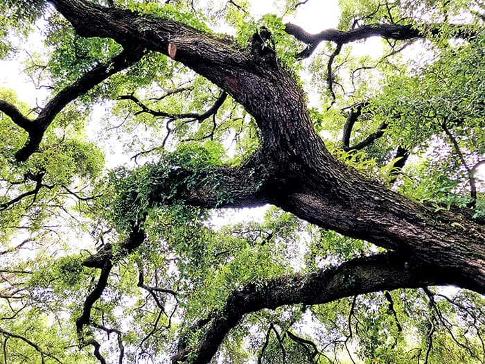 Looking Up At Tree Canopy, Old Oak Tree In Fernandina Beach