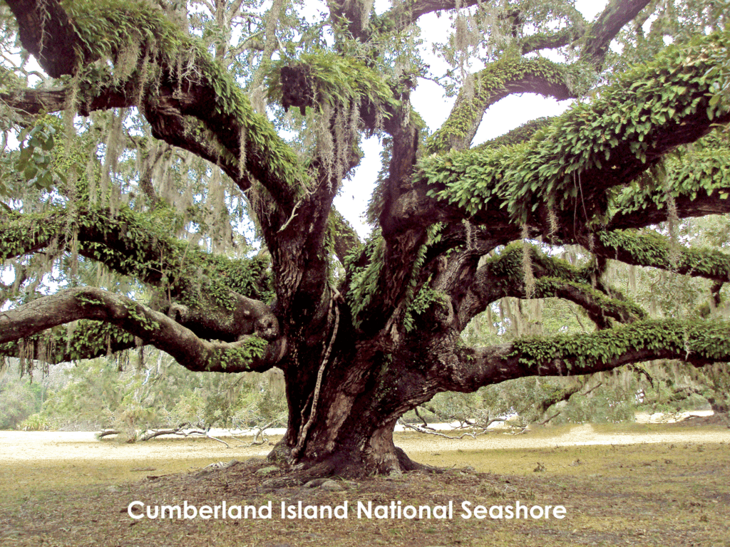 Cumberland Island, Georgia Huge Oak Tree Covered With Resurrection Fern And Spanish Moss