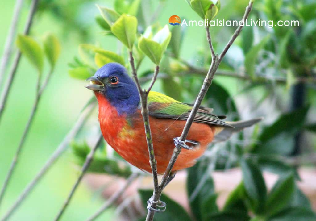 Male Painted Bunting Amelia Island Florida