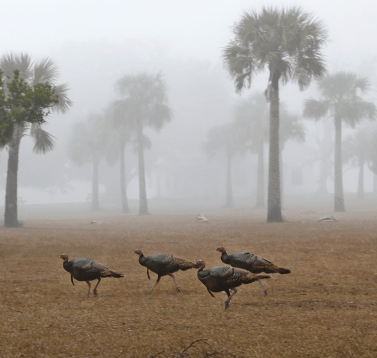 Wild Turkeys In Barrier Island Sea Fog