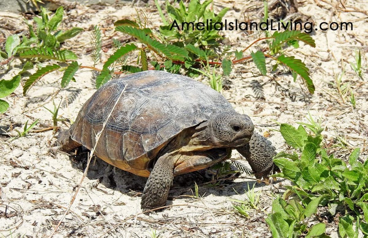Gopher Tortoise in sand dune, Amelia Island Living Magazine