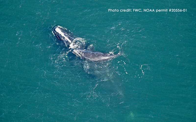 North Atlantic Right Whale Infinity with newborn calf off Amelia Island, Florida, January 17, 2021. Photo by FWC.