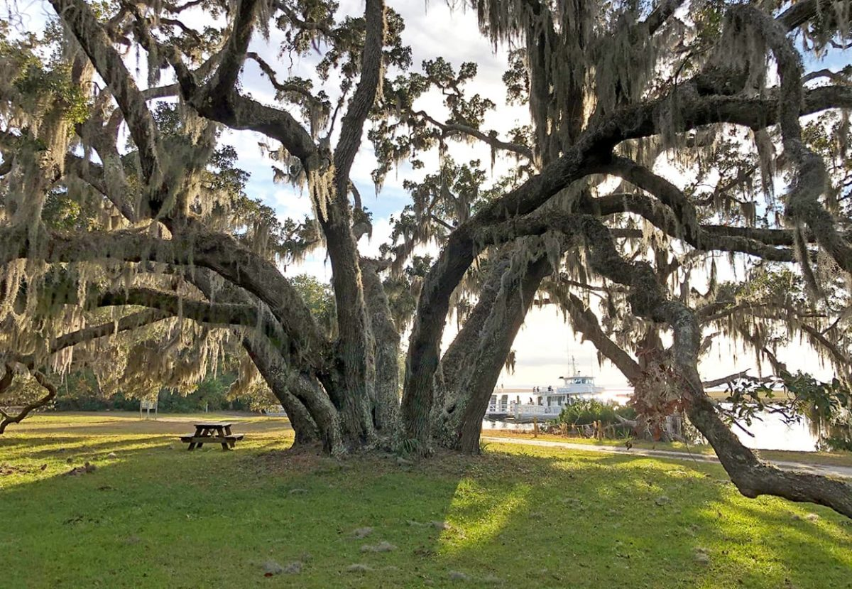Plum Orchard giant oak near dock, Cumberland Island, GA. Photo by AmeliaIslandLiving.com
